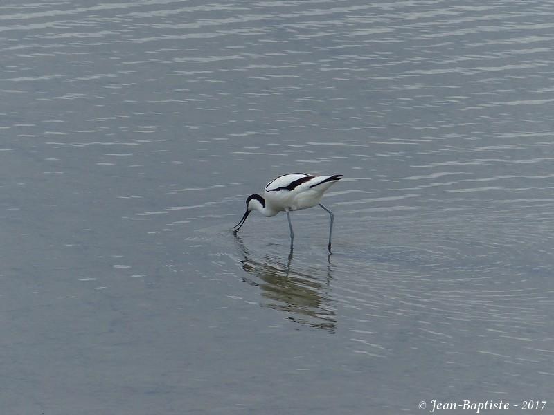 Avocette élégante - Réserve ornithologique du teich  P1750910