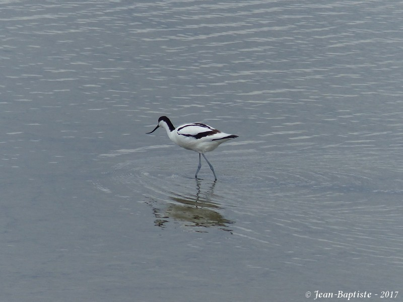 Avocette élégante - Réserve ornithologique du teich  P1750911