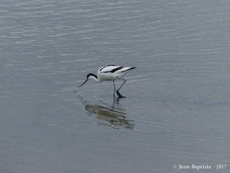 Avocette élégante - Réserve ornithologique du teich  P1750912