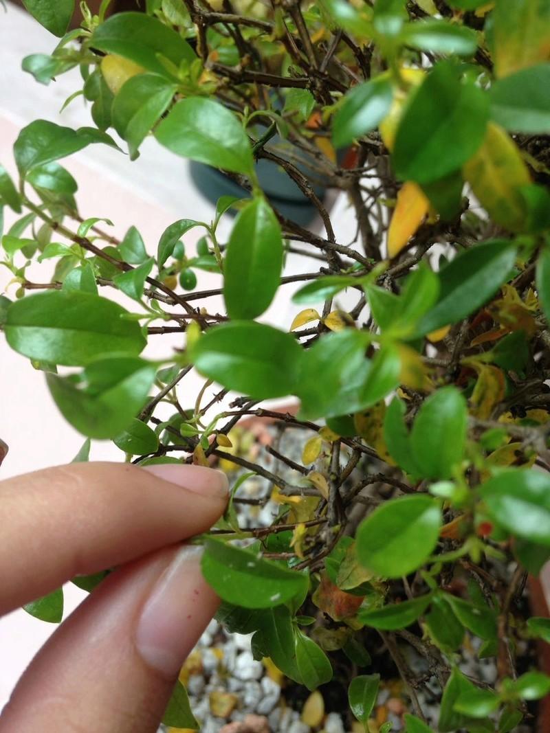 Ayuda ! mi bonsai tiene una plaga Whatsa16