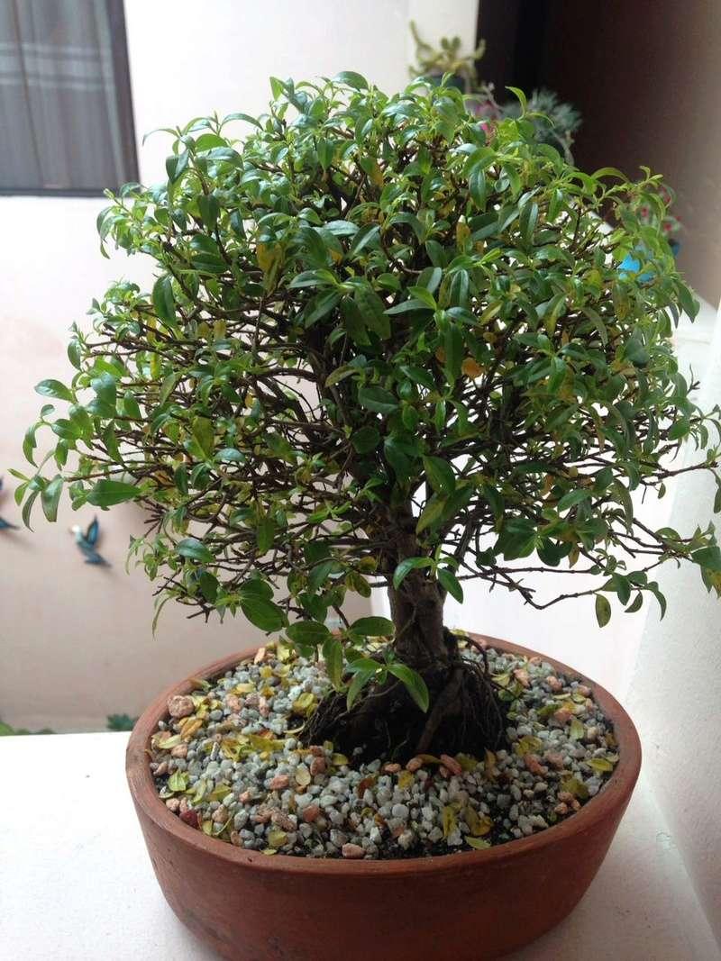 Ayuda ! mi bonsai tiene una plaga Whatsa18