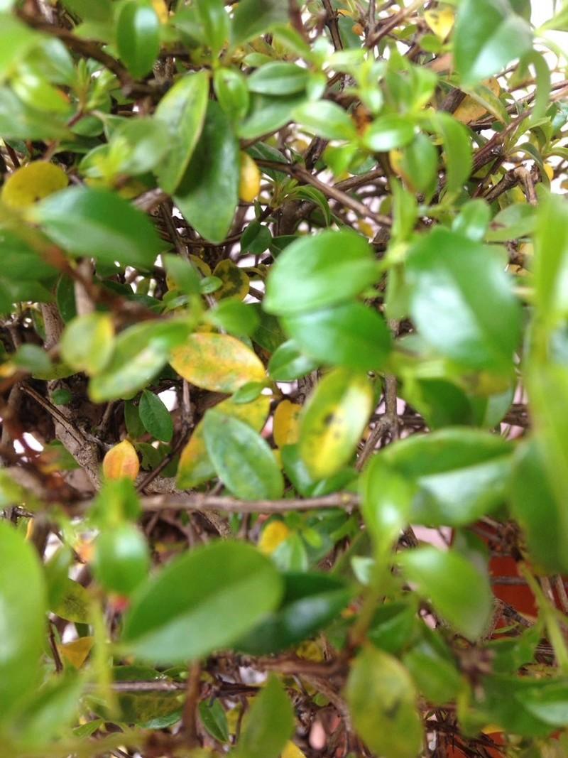 Ayuda ! mi bonsai tiene una plaga Whatsa19