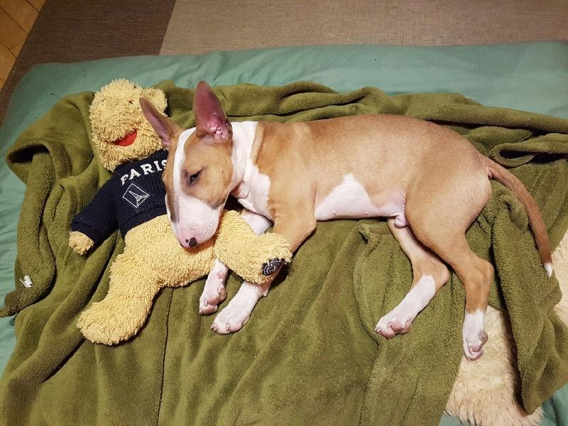 Bull terrier de 8 mois Resize11