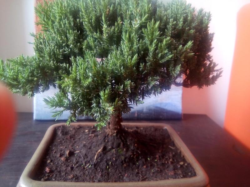 Juniperus Procumbens? Img_2010