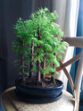 BOSQUE METASEQUOIA (FALSA SEQUOIA) Img_2014