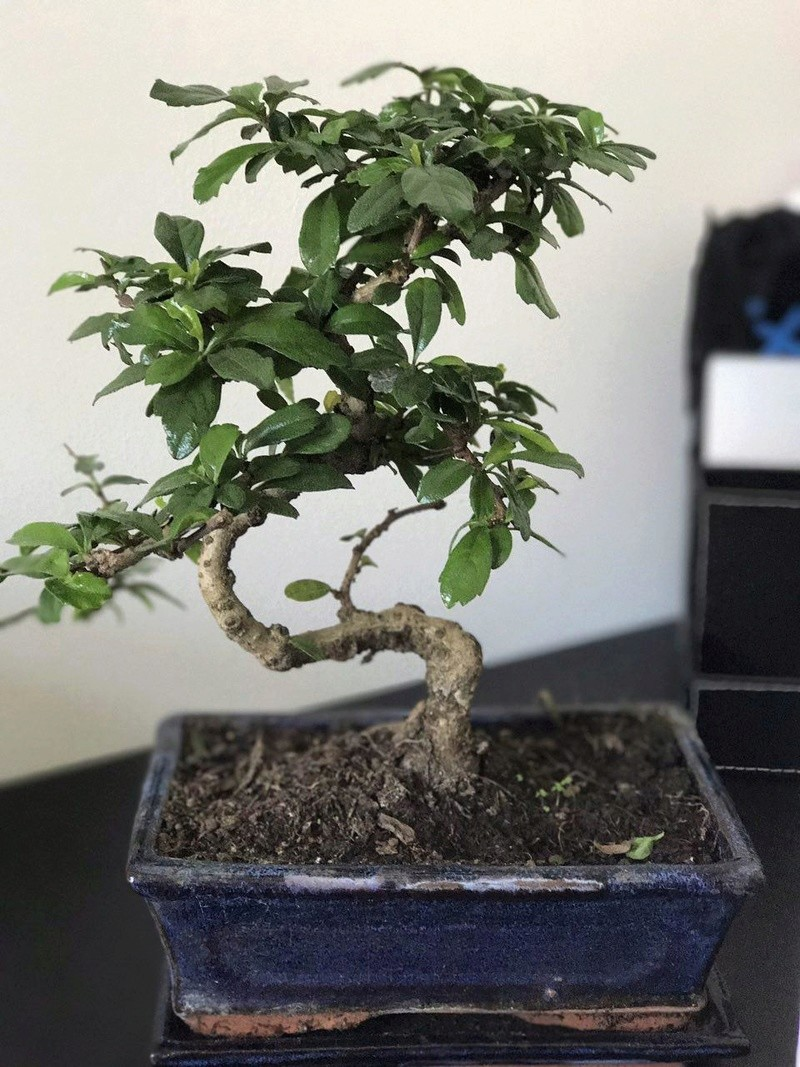Mi primer bonsai - zelkova parvifolia  Photo_12