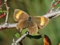 Quel est le nom de ce papillon ? Le-ser11