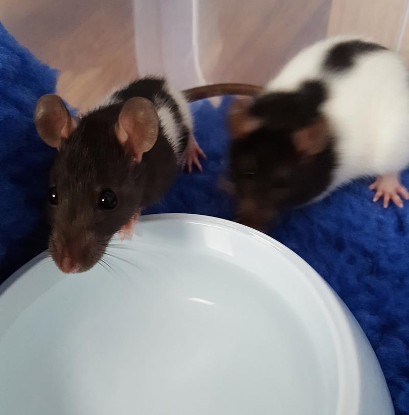 Mes premières rattes 20170516
