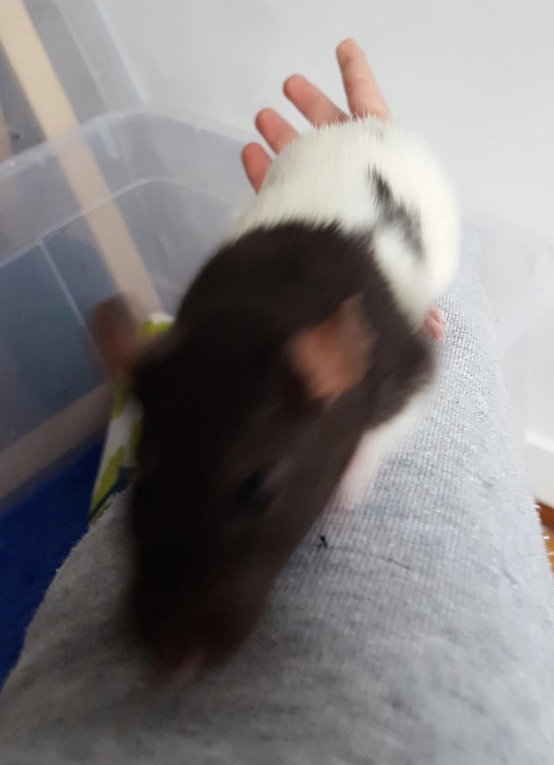 Mes premières rattes 20170519