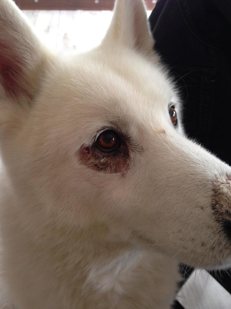 Loosing fur around his eye Busker10