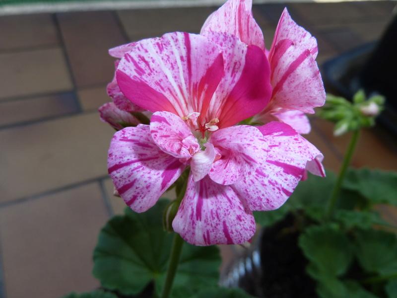 Voici quelques photos de mes plantes  - Page 2 P1020310
