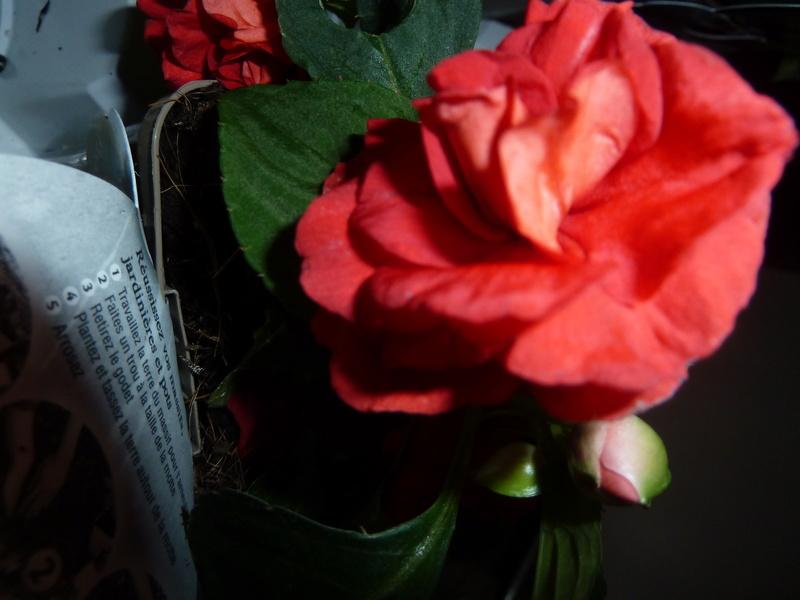 Voici quelques photos de mes plantes  - Page 2 P1020311
