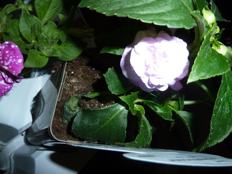 Voici quelques photos de mes plantes  - Page 2 P1020313