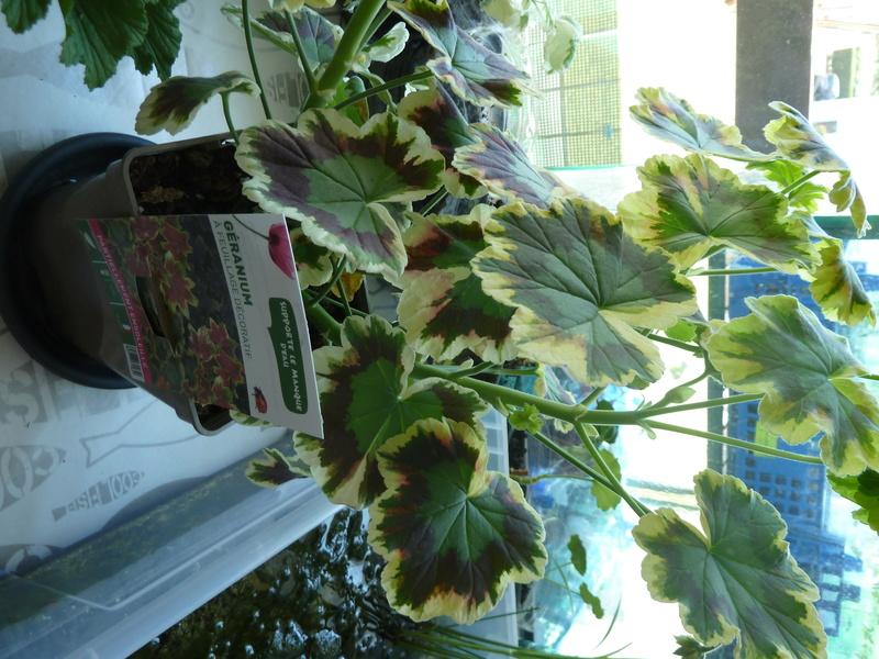 Géranium feuille tricolore P1020418