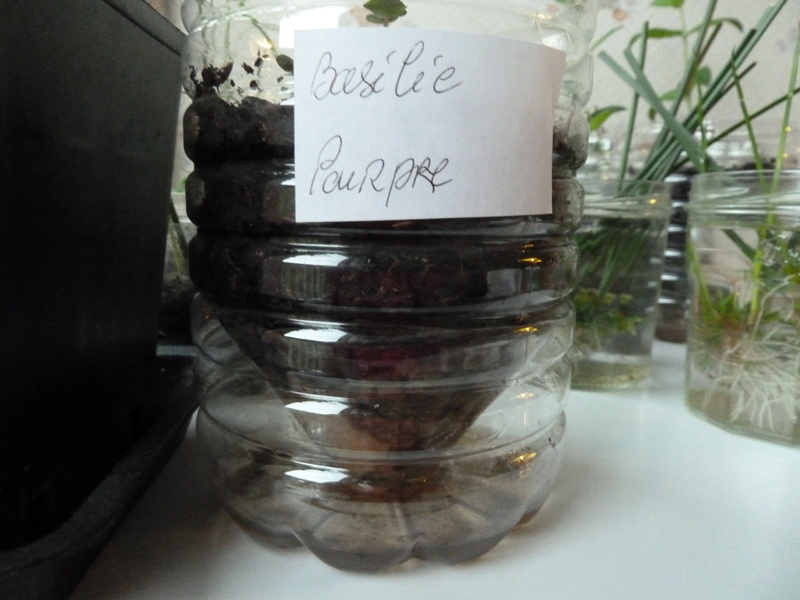 Bouture menthe gingembre et menthe chocolat P1020512