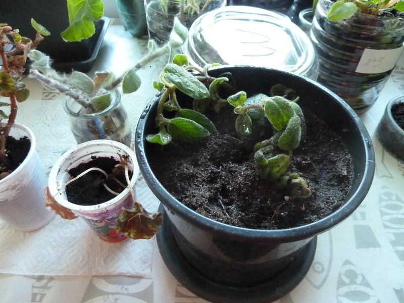 Ma dernière arrivée suite échange un streptocarpus saxorum P1020529