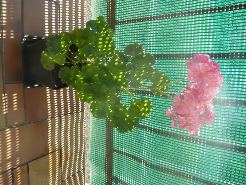 Géranium tricolore  P1020535