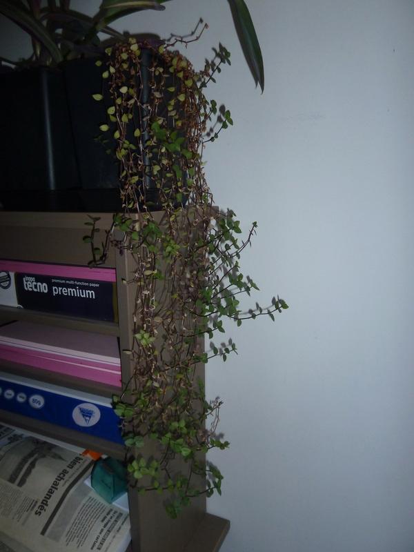 bouture misere (tradescantia) P1020555