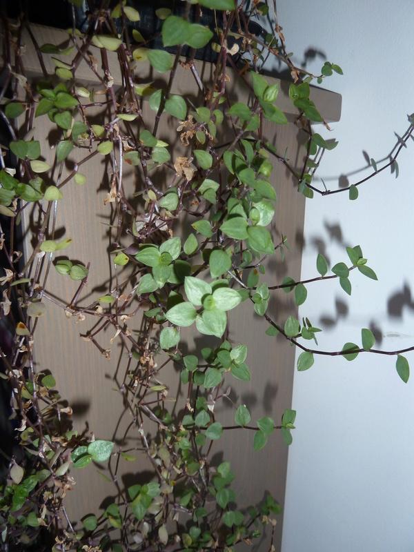 bouture misere (tradescantia) P1020556