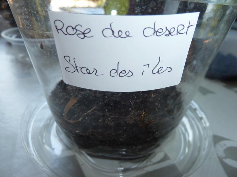 Rose du désert en germination  P1020560