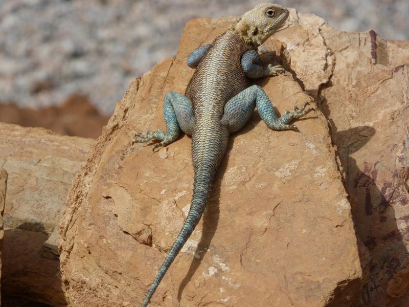 agame bleu Maroc P1010110