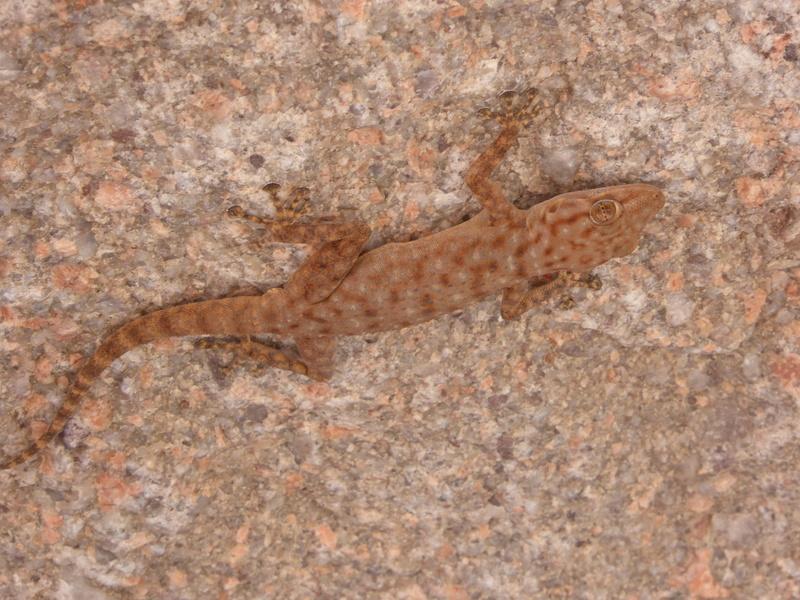 gecko Maroc P1060111