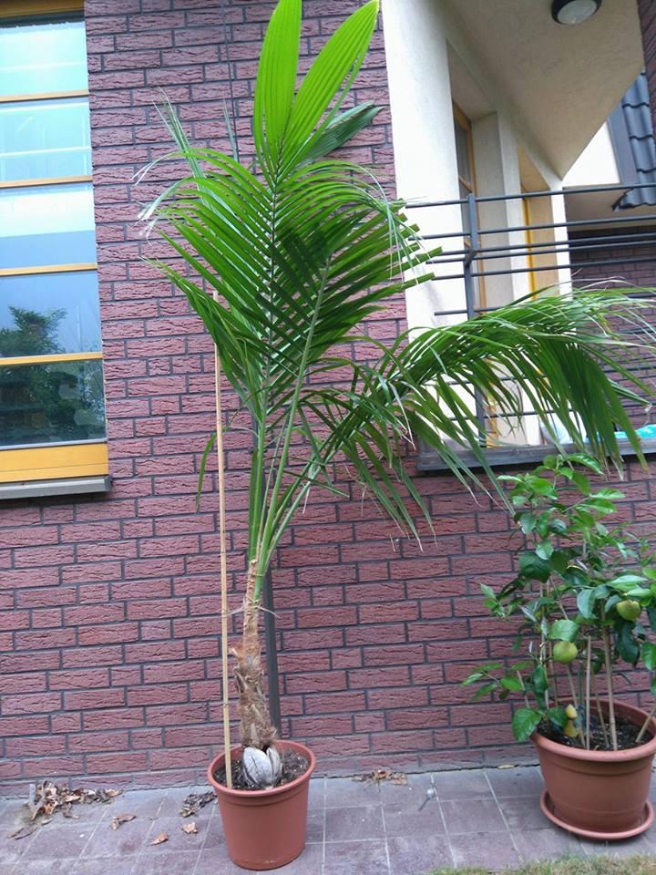 Cocos nucifera - Stránka 10 Palma_10