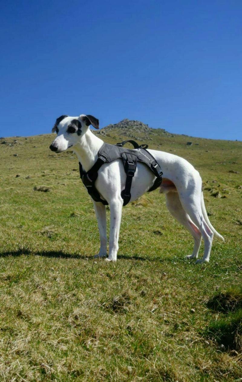 Menphis whippet 2 ans blanc avec des tâches noires bringée reservé Receiv11