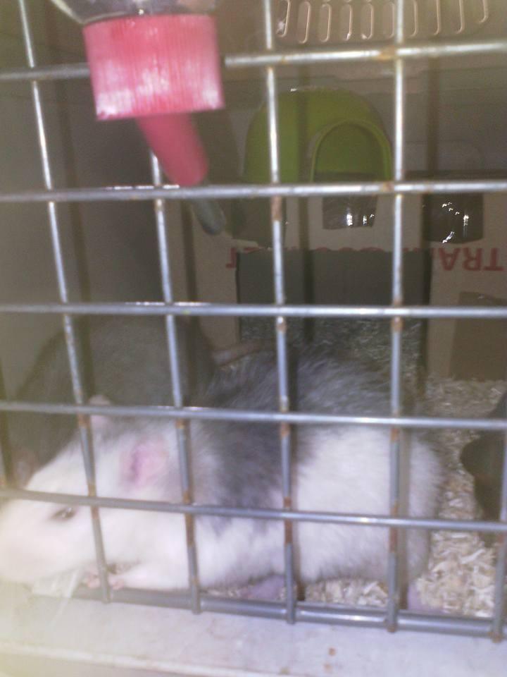 SOS 2 RATS MALE SUR LE 31 18222110