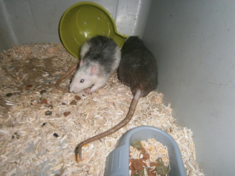 SOS 2 RATS MALE SUR LE 31 P8070011
