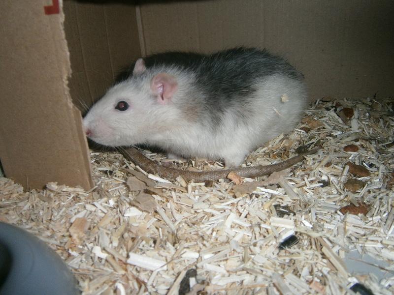 SOS 2 RATS MALE SUR LE 31 P8070012