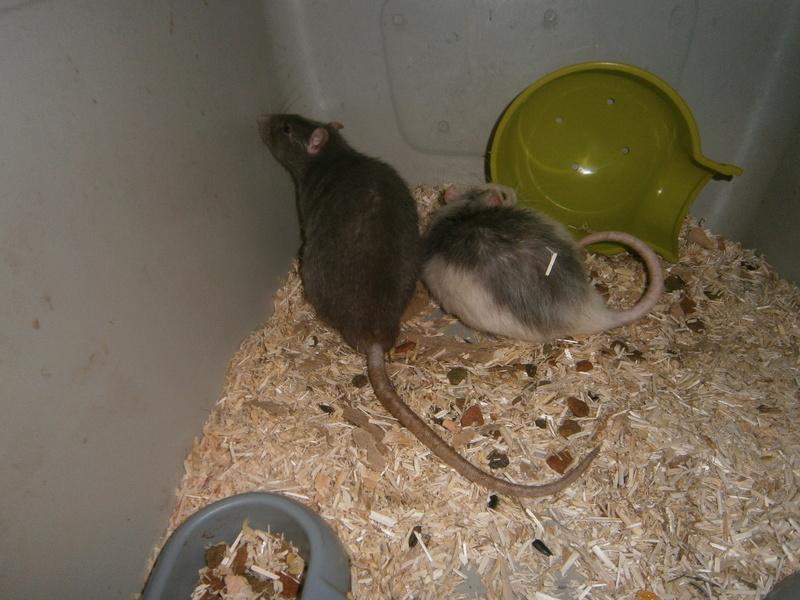 SOS 2 RATS MALE SUR LE 31 P8070013
