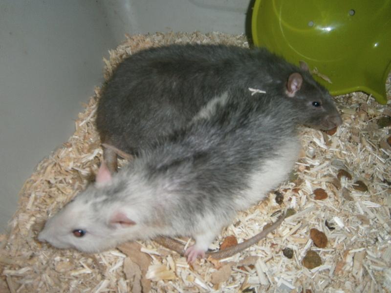 SOS 2 RATS MALE SUR LE 31 P8070014
