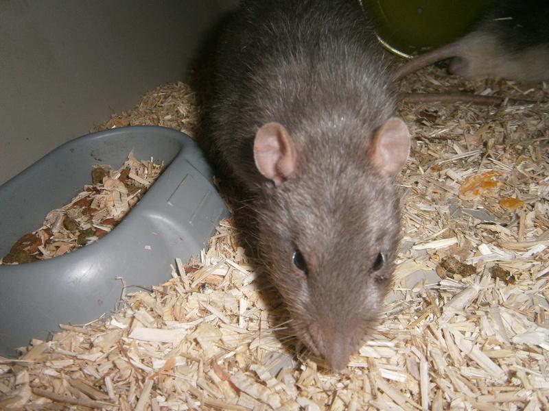 SOS 2 RATS MALE SUR LE 31 P8070015