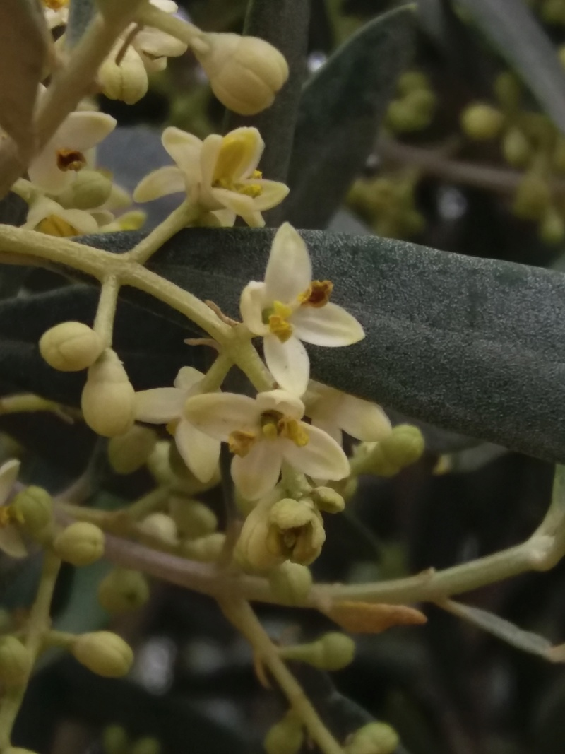 "El ""empeltre"" empieza a abrir la flor. 20170516"