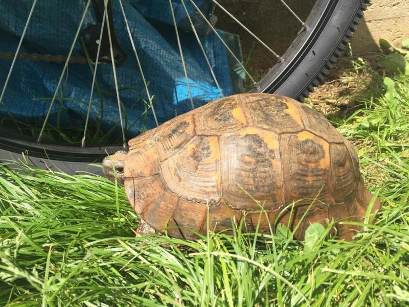Besoin d'aide pour identifier la race et le sexe de ma tortue Img_0812