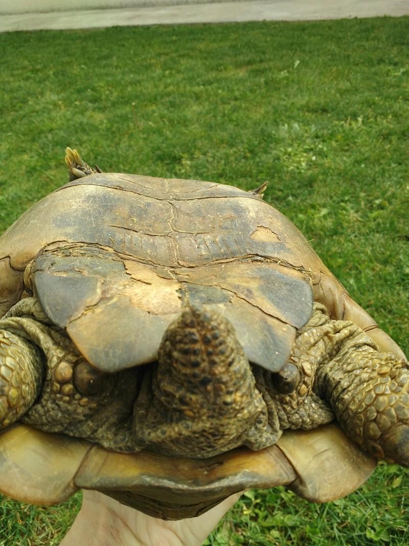 Besoin d'aide pour identifier la race et le sexe de ma tortue Img_2010