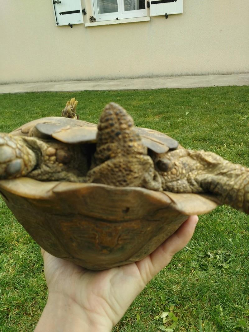 Besoin d'aide pour identifier la race et le sexe de ma tortue Img_2011