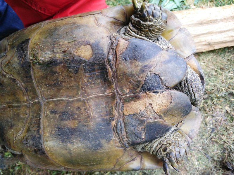 Besoin d'aide pour identifier la race et le sexe de ma tortue Img_2012