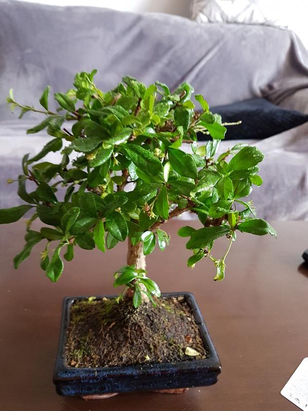 Caídas de hoja en mi bonsai 20170413