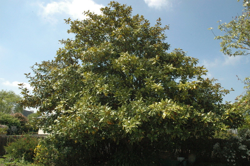 magnolia sieboldii Dsc_0128