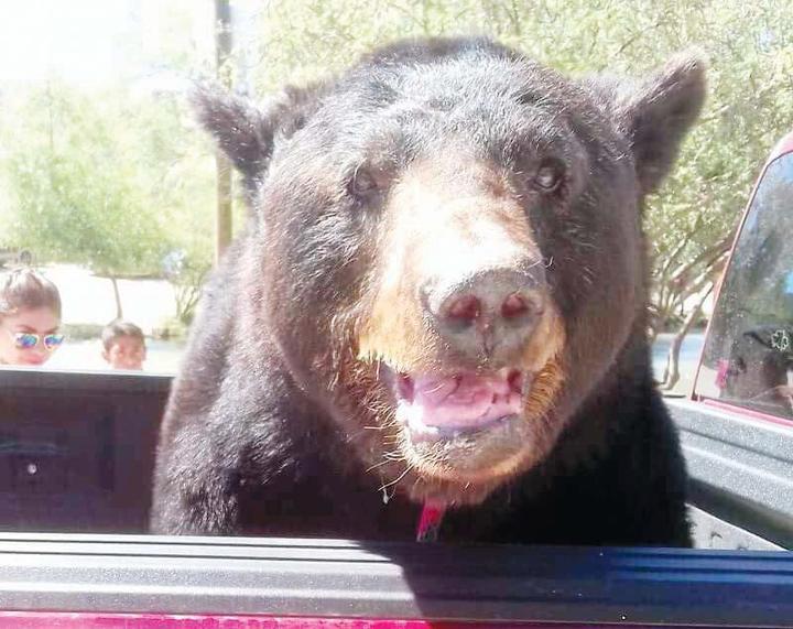 'Pasean' a oso vivo en Durango  4-30-2017 58467110