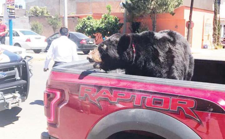'Pasean' a oso vivo en Durango  4-30-2017 58467210