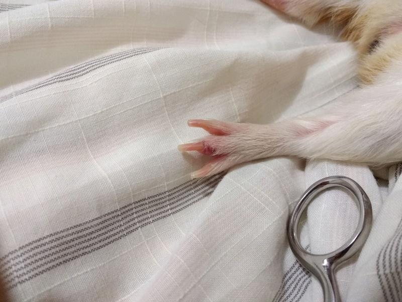 O dedo da minha porquinha está inchado Pata_p12