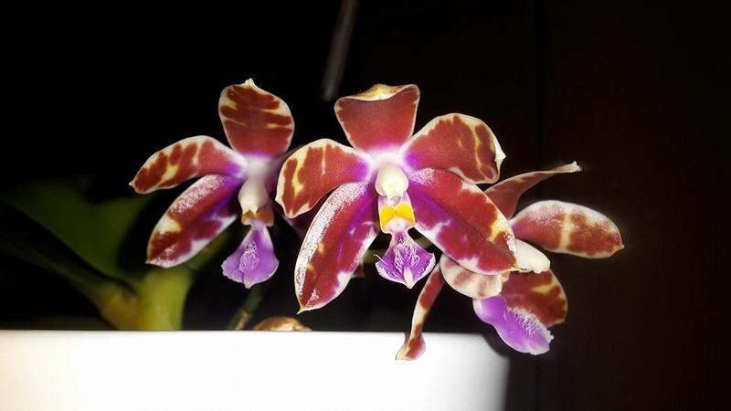 Phalaenopsis mariae x pulchra (Alamp) O_phal14