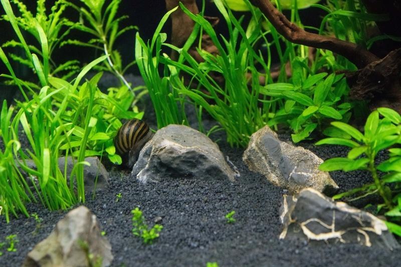 [Trouver] 5 crevettes Japonica et un escargot néritina[94] 19775810