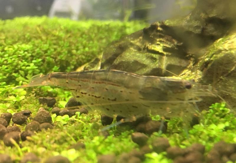 [Trouver] 5 crevettes Japonica et un escargot néritina[94] Fullsi10
