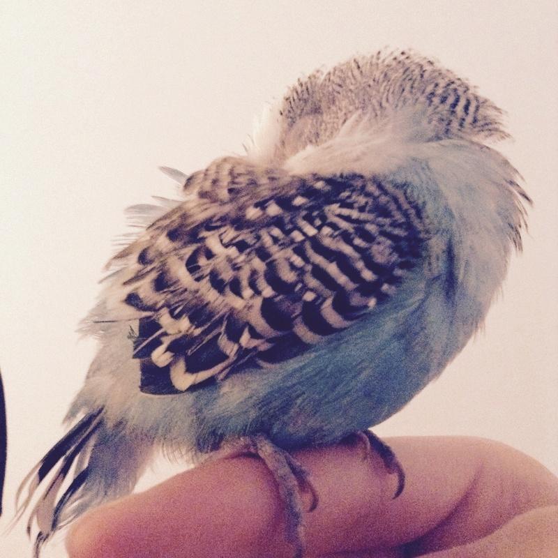 Problème de plumage Image12