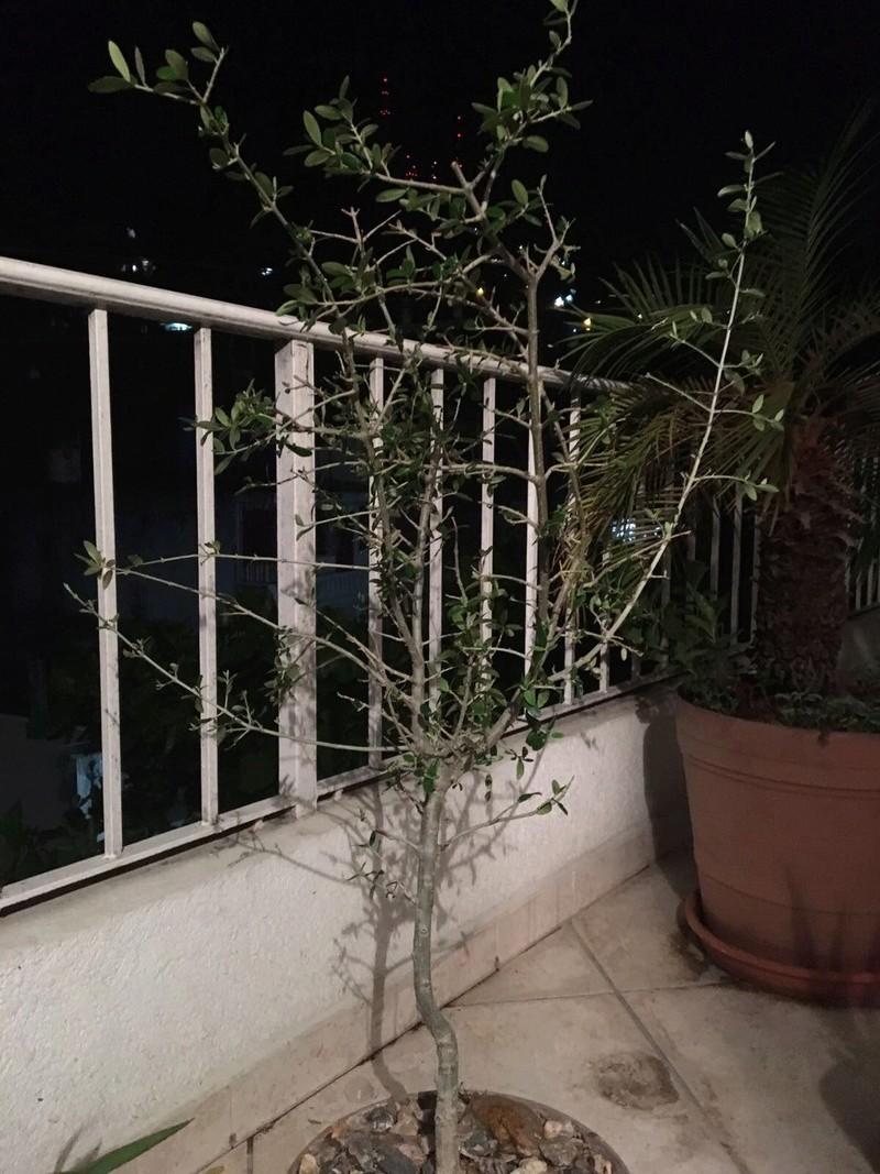 ¿Qué variedad de olivo es? (México) Image510