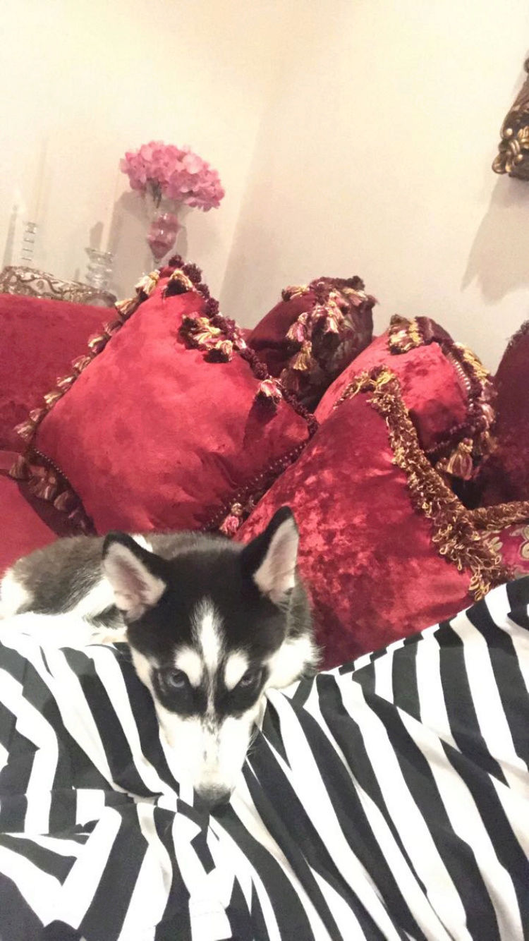 Is my puppy a pure breed husky Image310